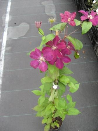 Clematis__Rouge__49450bf074c54.jpg