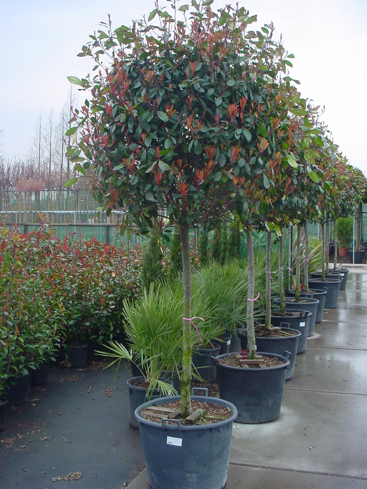 Photinia_f.__Red_4975a0a532da7.jpg