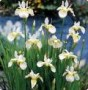 Iris__Snow_Queen_4a7ed02fa4585.jpg