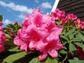 Rhododendron__An_495886f723b52.jpg