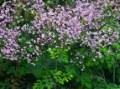 Thalictrum_roche_4a87d9bbd766f.jpg